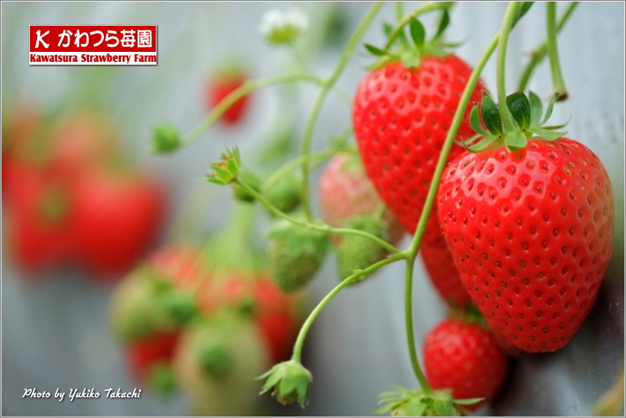 Green house of Kawatsura Strawberry Farm